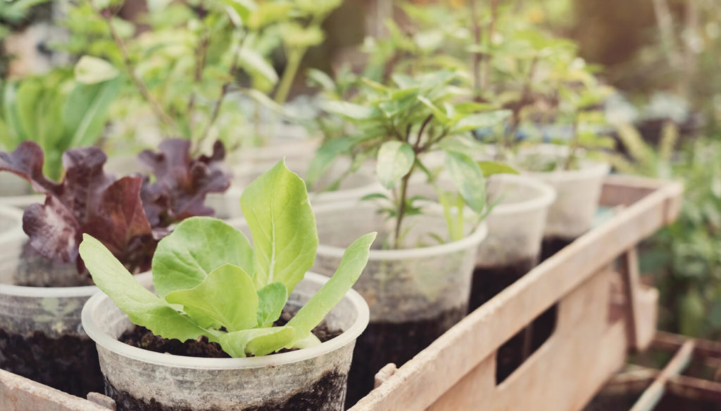 Plants being grown in recycled plastic cups